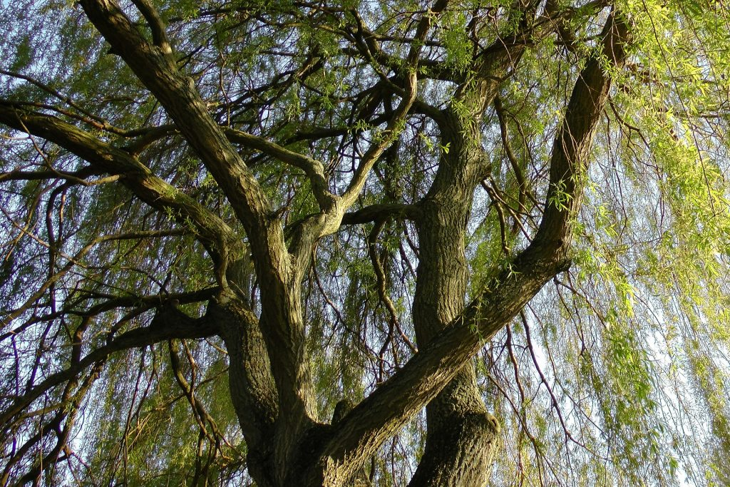 https://pixabay.com/photos/weeping-willow-pasture-baumm-509869/