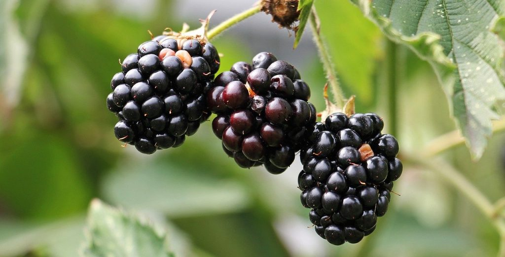 https://pixabay.com/photos/blackberries-bramble-berries-bush-1539540/