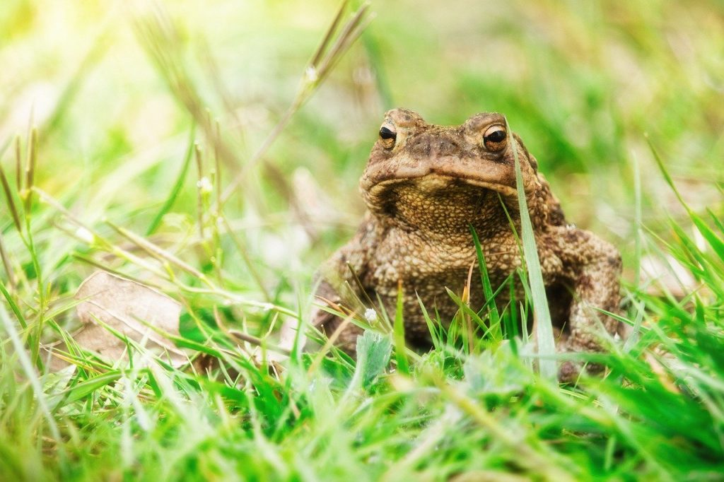 https://pixabay.com/photos/common-toad-toad-animal-frog-brown-5038043/